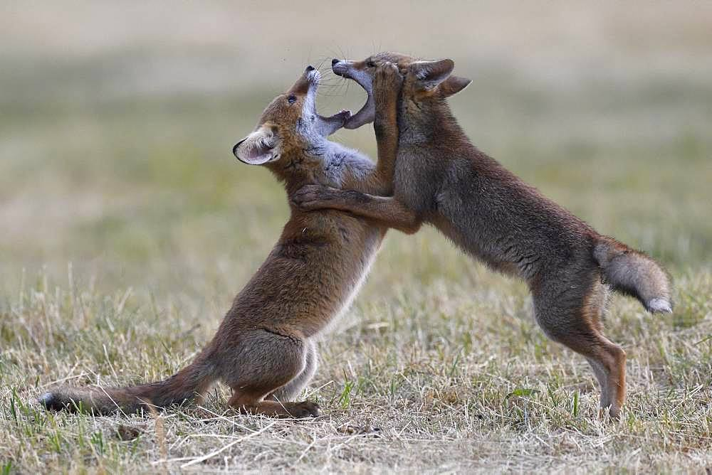 Red fox (Vulpes vulpes) young playing, Vosges, France