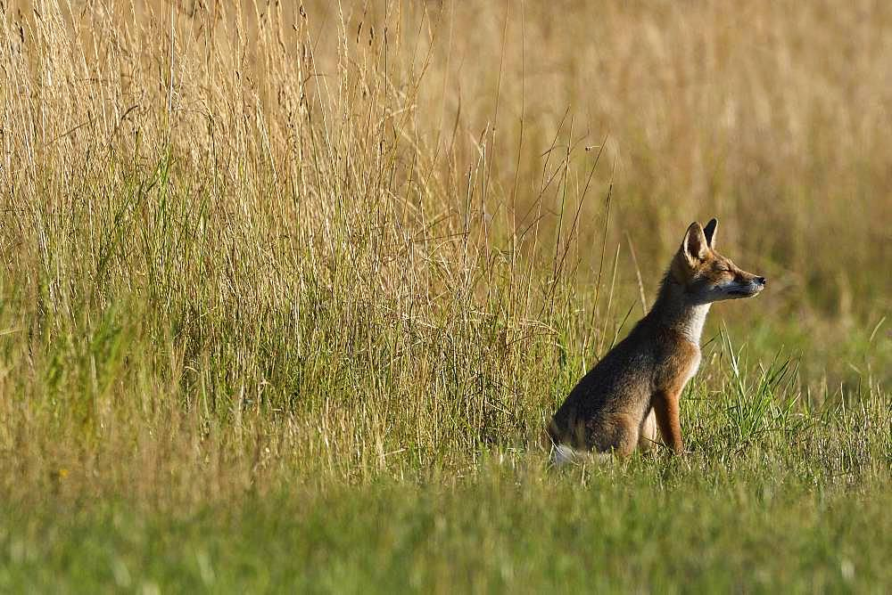 Red fox (Vulpes vulpes) young sitting in grass, Vosges, France