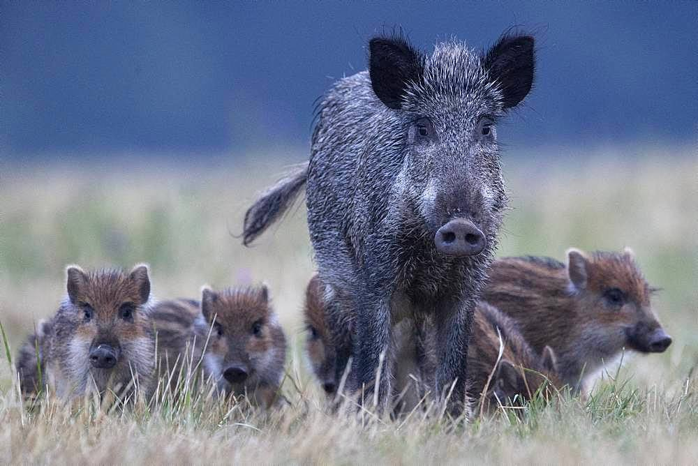 Wild boar (Sus scrofa) and youngs in grass, Vosges, France