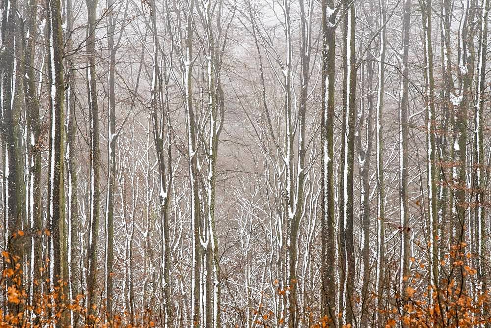 Beech forest, Common beech forest (Fagus sylvatica) in winter, Vosges, France
