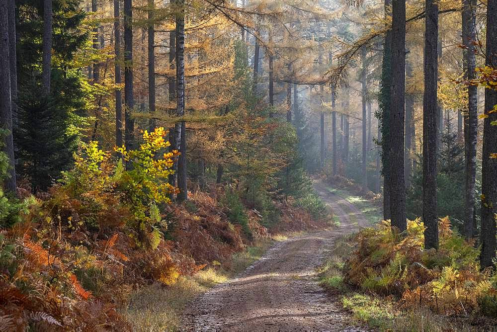 Larch, forest path in autumn, Vosges, France
