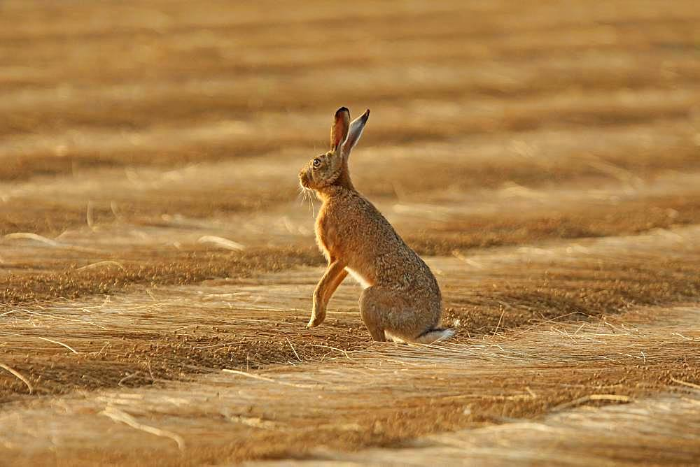 European hare (Lepus europaeus) on freshly mown flax, Normandy, France