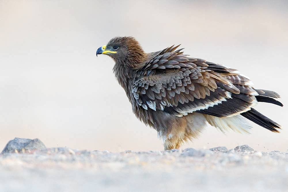 Steppe Eagle (Aquila nipalensis), Juvenile perched on the ground, Salalah, Dhofar, Oman