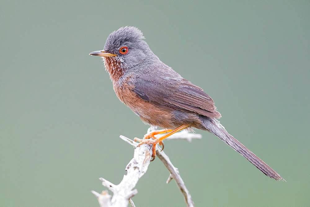Dartford Warbler (Sylvia undata), adult male perched on a branch, Campania, Italy
