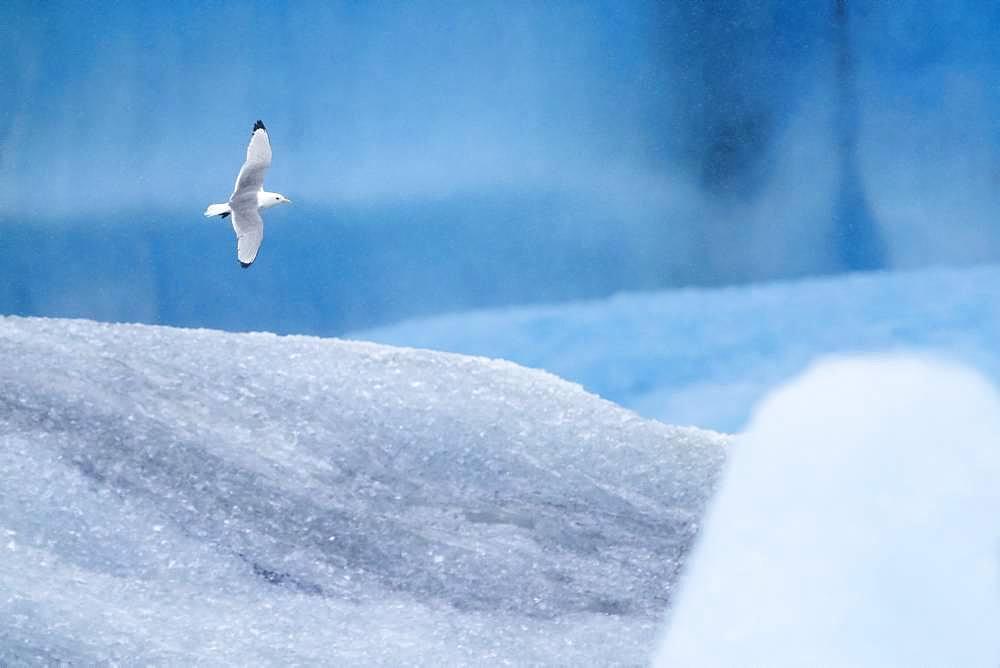 Black-legged Kittiwake (Rissa tridactyla), adult in flight among icebergs, Northeastern Region, Iceland