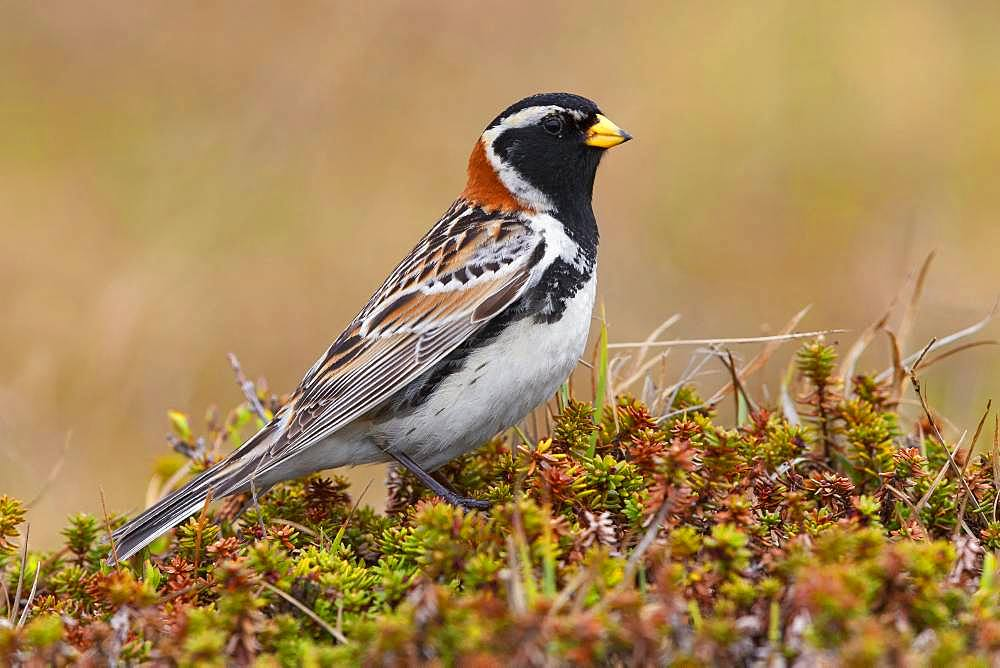 Lapland Longspur (Calcarius lapponicus), adult male standing on the ground, Finnmark Norway