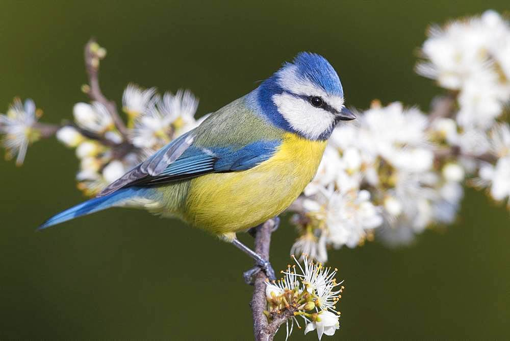 Blue Tit (Cyanistes caeruleus), adult perched on a Blackthorn branch with flowers, Campania, Italy