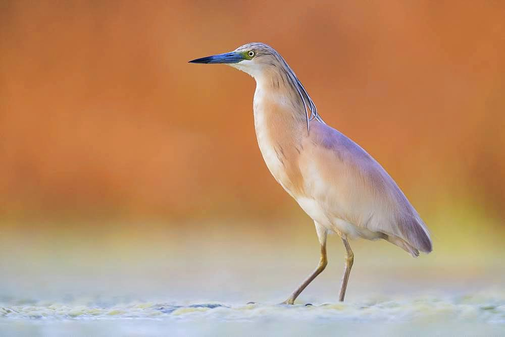 Squacco Heron (Ardeola ralloides), adult standing in a swamp at sunset, Campania, Italy