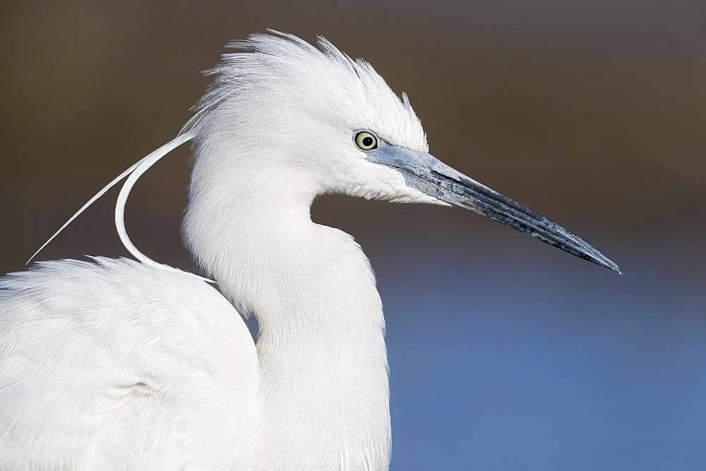 Little Egret (Egretta garzetta), adult close-up, Campania, Italy