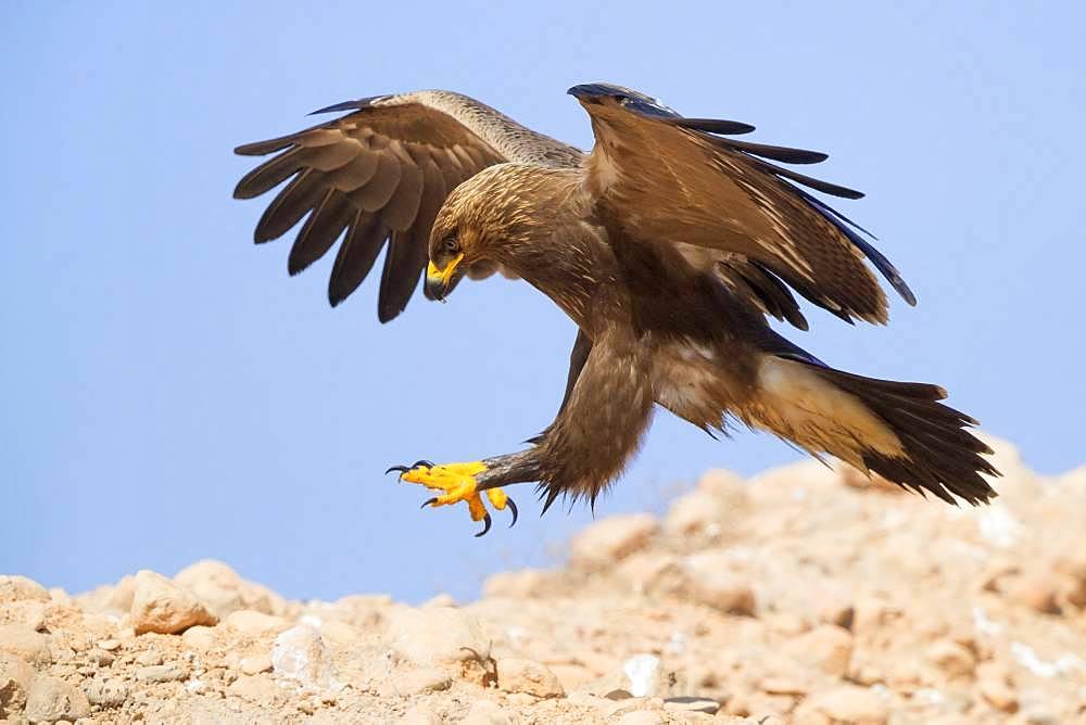Lesser Spotted Eagle (Aquila pomarina), juvenile landing on the ground, Dhofar, Oman
