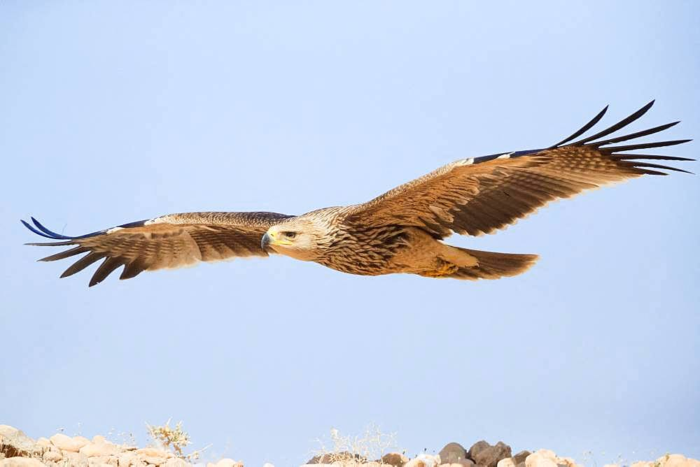 Eastern Imperial Eagle (Aquila heliaca), juvenile in flight, Dhofar, Oman