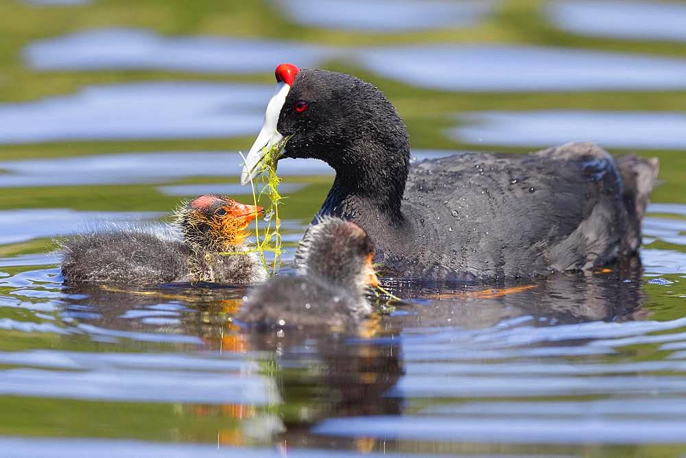 Red-knobbed Coot (Fulica cristata), adult feeding its chicks, Fes-Meknes, Morocco