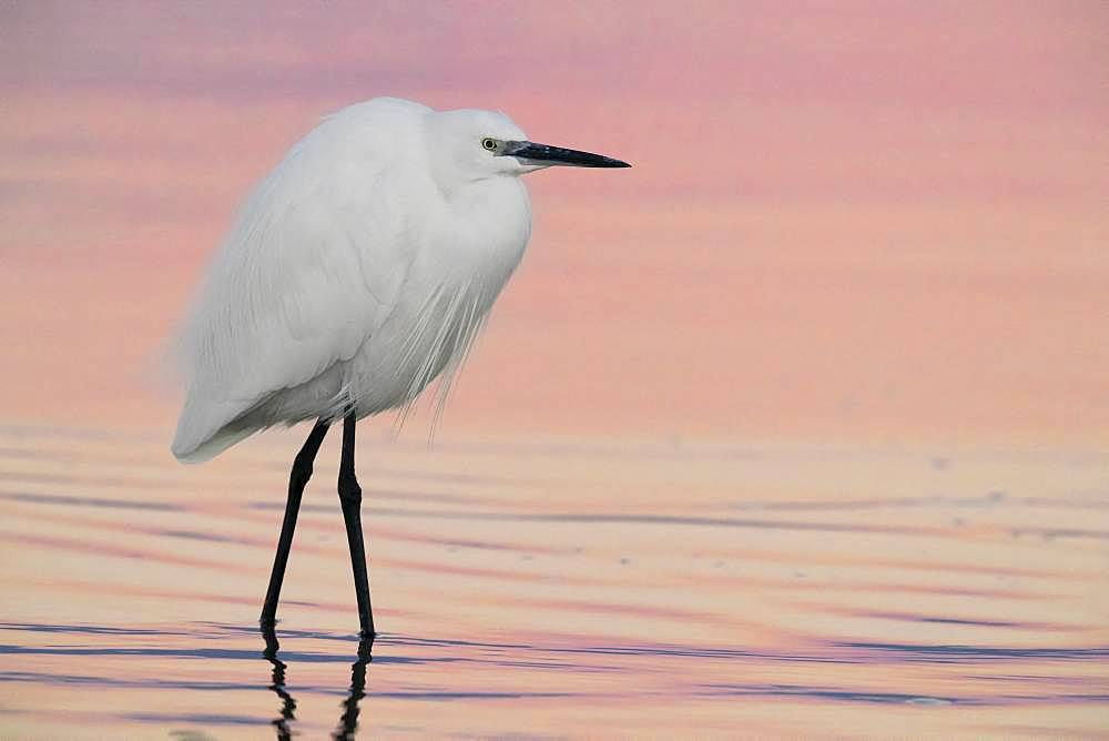 Little Egret (Egretta garzetta), adult in winter plumage standing in the water before the sunrise, Campania, Italy