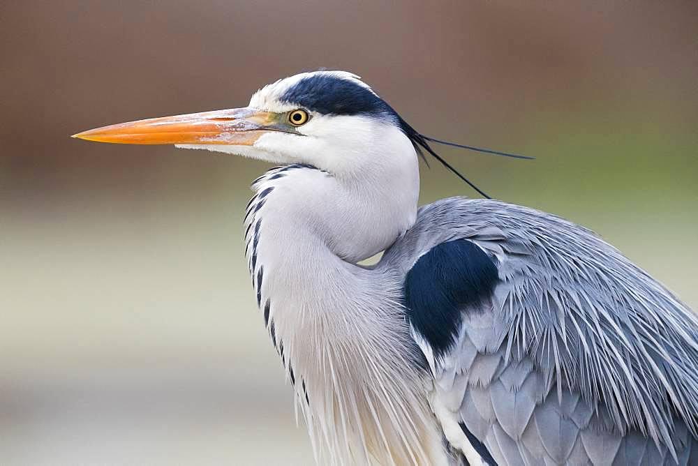 Grey Heron (Ardea cinerea), adult close-up, Campania, Italy
