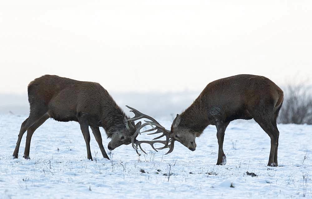 Red deer (Cervus elaphus) stag play fighting in the snow, England