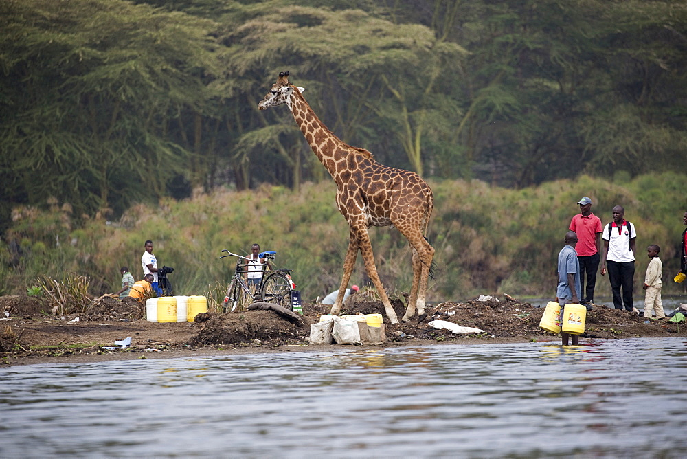 Eric the tame giraffe (Giraffa camelopardalis) amongst fishermen on shore, Lake Naivasha, Kenya