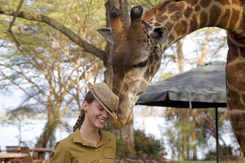 Eric a tame wild person-friendly giraffe investigates straw hat worn by lady tourist guest at Elsamere Naivasha Kenya