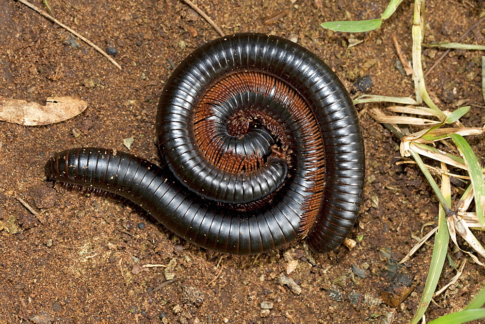 Giant red-legged African millipedes (Ephibolus pulchripes) mating often called Mombasa trains or chongololos Mombasa Kenya