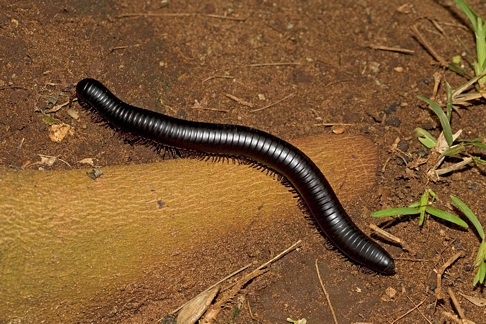 Giant red-legged African millipede (Ephibolus pulchripes) often called Mombasa trains or chongololos with legs demonstrating metachronal rhythm Mombasa, Kenya