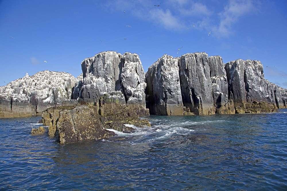 Pillars of rock with Guillemot colonies, Staple Island, Farne Island, Northumberland, UK