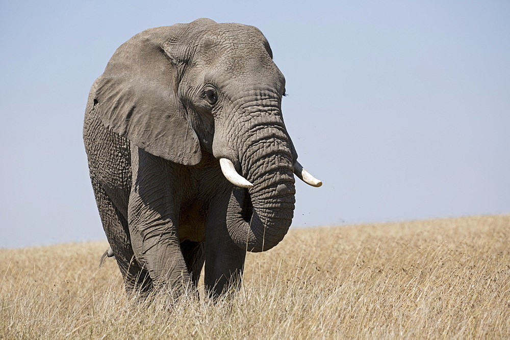 One large bull African elephant, Loxodonta africana, grassland, Masai Mara, Kenya
