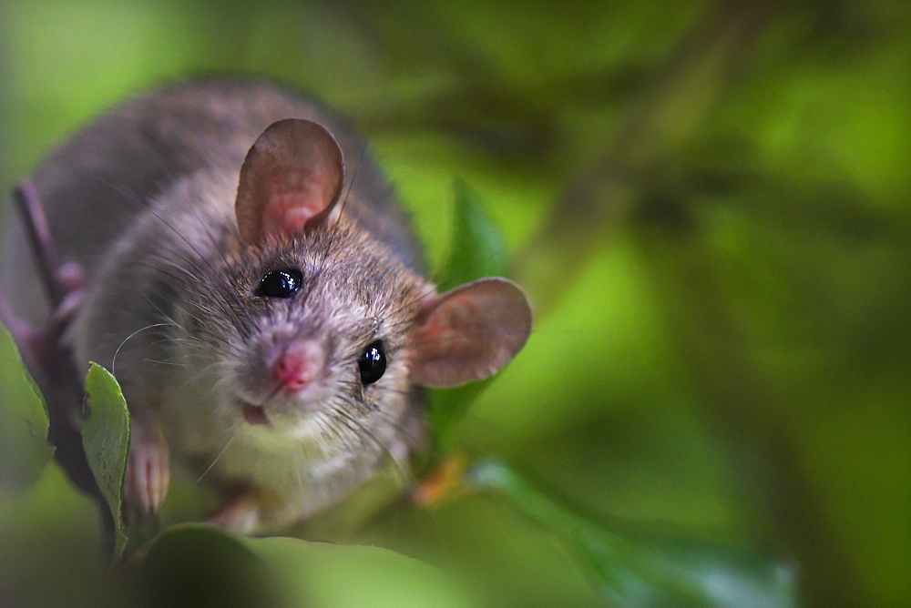 Young Black Rat (Rattus rattus) climbed in a viburnum near a rural house, Auvergne, France.
