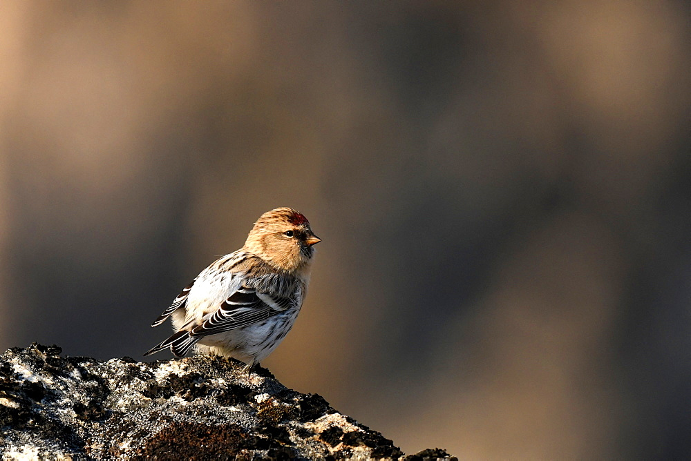 Common Redpoll (Acanthis flammea) on rock, Greenland *** Local Caption *** It is one of the four sparrows that makes the great migration and thus crosses the Greenland Sea to nest in the recessed places of Greenland.