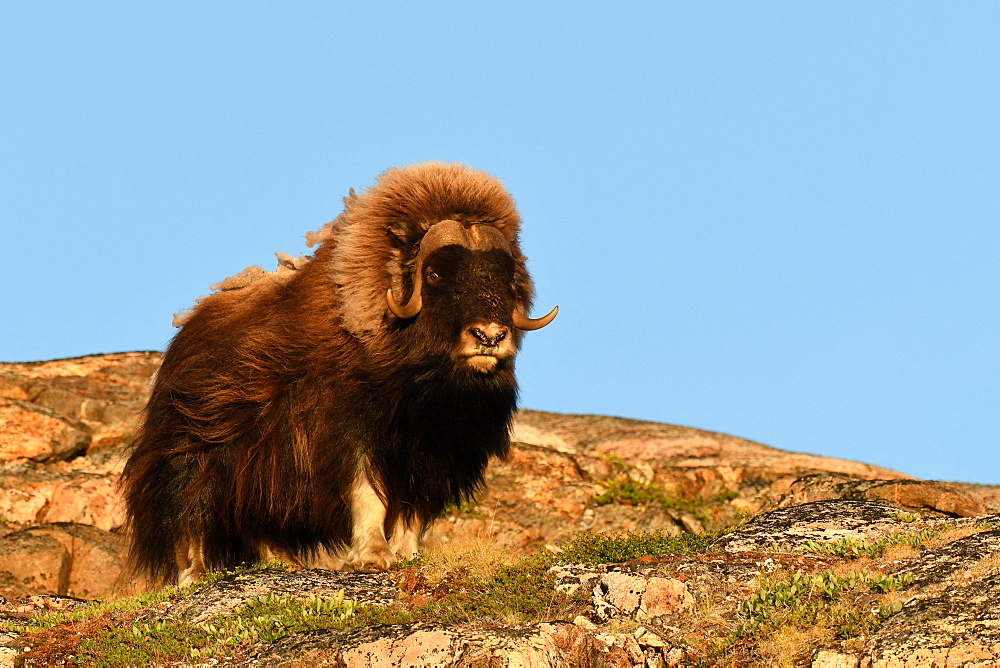 Male and lone muskox (Ovibos moschatus) on one of the archipelago islands at the bottom of Scoresby Sund, GreenlandIt must have arrived here in winter through the ice floe