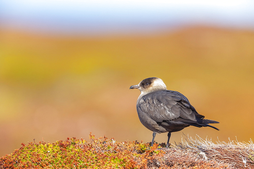 Arctic Skua (Stercorarius parasiticus) on the ground, Ekkerøy, Varanger, Norway