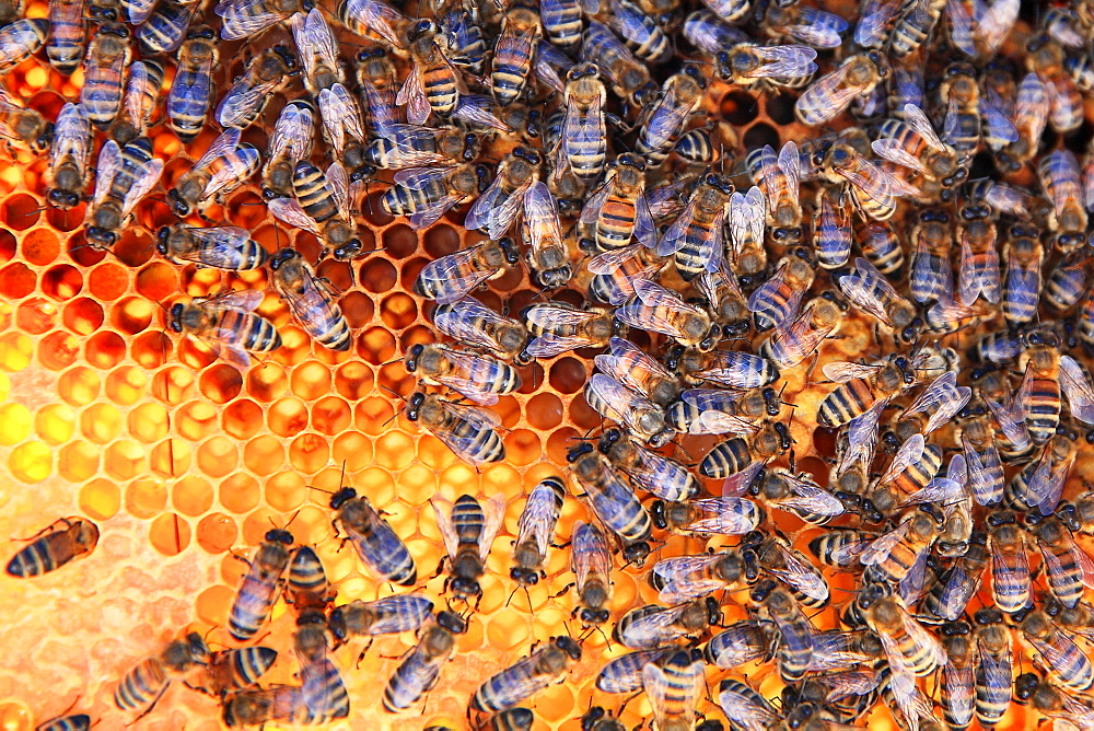 Honey bees (Apis mellifera) on pollen cells