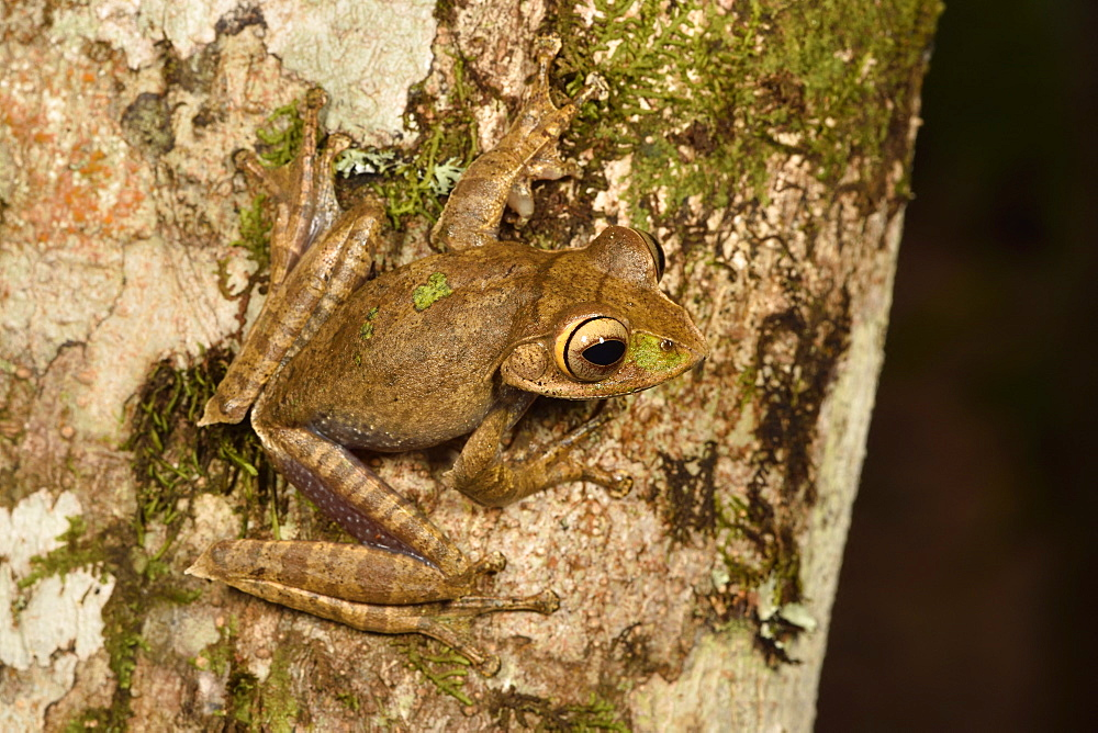 Madagascar Bright-eyed Frog (Boophis madagascariensis complex), Andasibe, Périnet, Région Alaotra-Mangoro, Madagascar