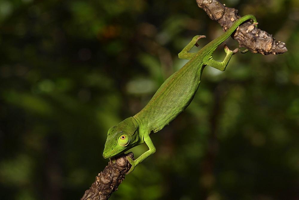 Perinet chameleon (Calumma gastrotaenia) female on a branch, Andasibe, Périnet, Région Alaotra-Mangoro, Madagascar