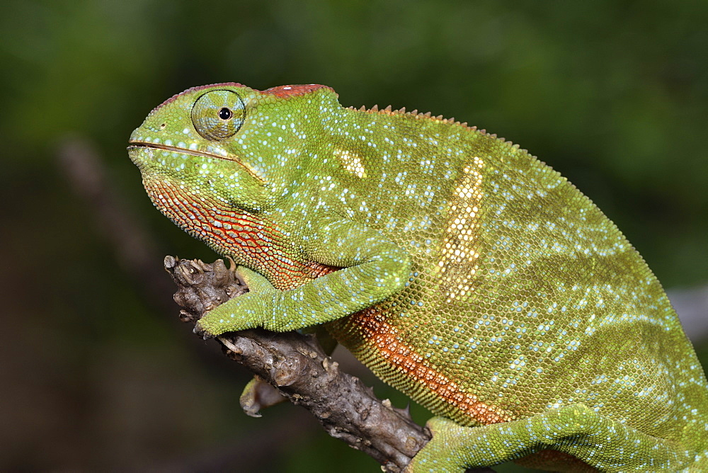 Two-horned chameleon (Furcifer bifidus) female, Andasibe, Périnet, Région Alaotra-Mangoro, Madagascar