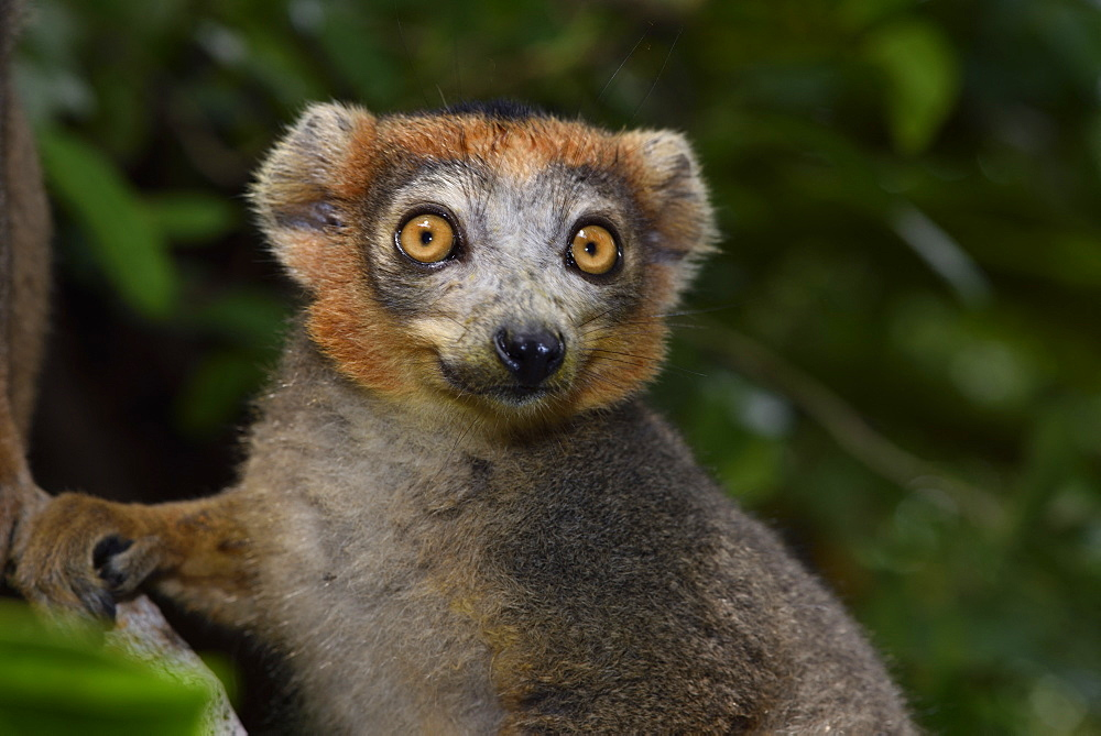 Crowned lemur (Eulemur coronatus) male in the forest, Pangalanes Canal, Ampitabe Lake, Atsinanana Region, Madagascar