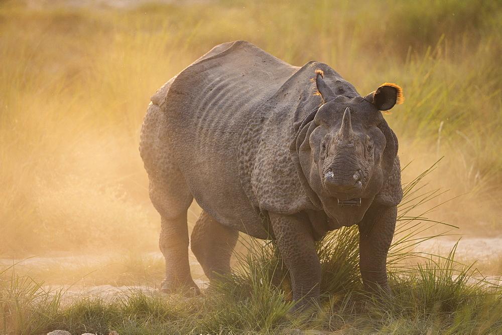 Greater One-horned Rhino (Rhinoceros unicornis) in the dust, Chitwan National Park, Nepal