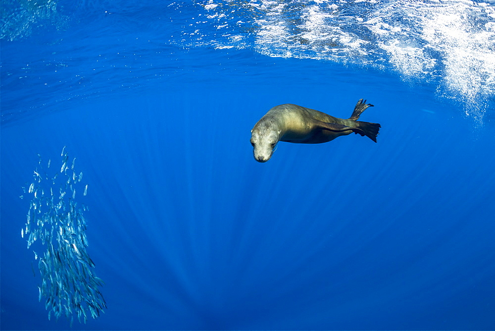California Sea Lion (Zalophus californianus) feeding on sardine's bait ball (Sardinops sagax), Magdalena Bay, West Coast of Baja California, Pacific Ocean, Mexico