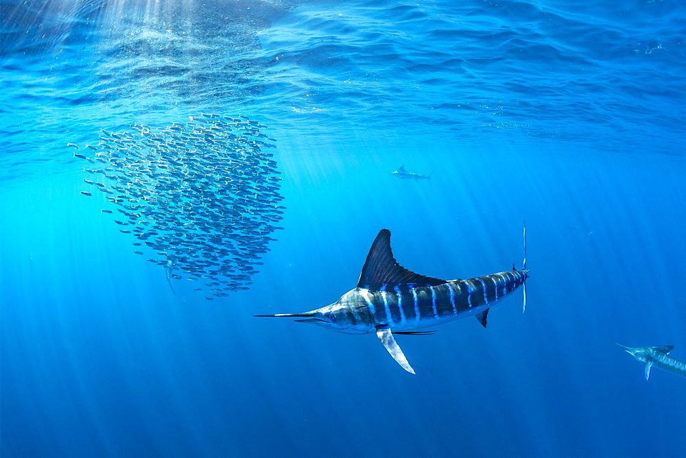 Striped marlin (Kajikia audax) feeding on sardine's bait ball (Sardinops sagax), Magdalena Bay, West Coast of Baja California, Pacific Ocean, Mexico