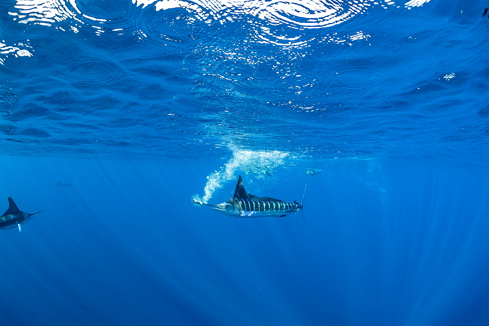 Striped marlin (Tetrapturus audax) that he has just taken a sardine from a bait ball (Sardinops sagax), Magdalena Bay, West Coast of Baja California, Pacific Ocean, Mexico