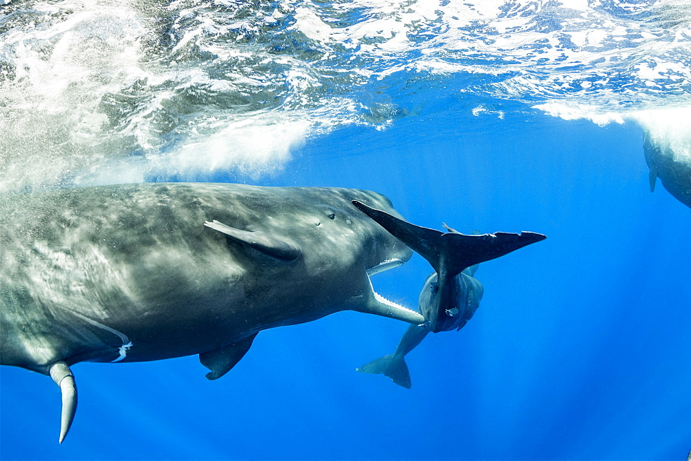 Sub-adult sperm whale try to move away a calf to to mate with a female, (Physeter macrocephalus), Vulnerable (IUCN), The sperm whale is the largest of the toothed whales. Sperm whales are known to dive as deep as 1,000 meters in search of squid to eat. Image has been shot in Dominica, Caribbean Sea, Atlantic Ocean. Photo taken under permit n°RP 16-02/32 FIS-5. - 860-287902