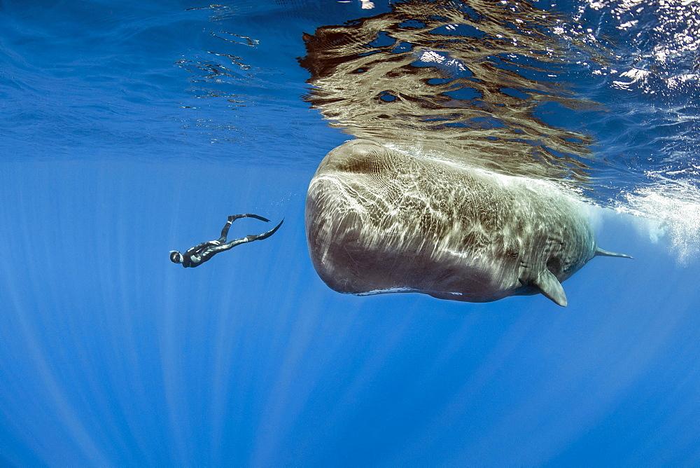 Freediver swimming with female sperm whale, Physeter macrocephalus, Vulnerable (IUCN), Dominica, Caribbean Sea, Atlantic Ocean. Photo taken under permit n°RP 17/01/02 FIS-4.