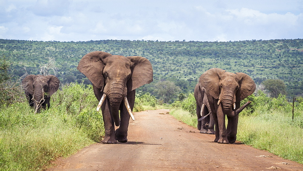 Four African bush elephants Loxodonta africana walking on safari road in Kruger National park, South Africa