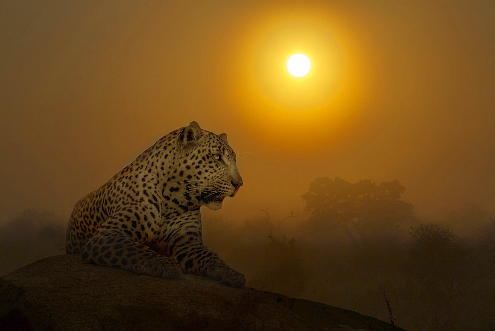 Leopard Panthera pardus lying down on rock at sunset in Kruger National park, South Africa - Composite image