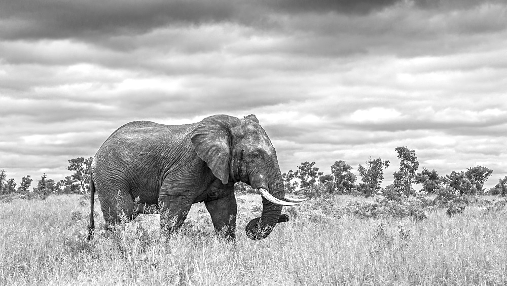 African bush elephant Loxodonta africana walking in savannah in black and white in Kruger National park, South Africa