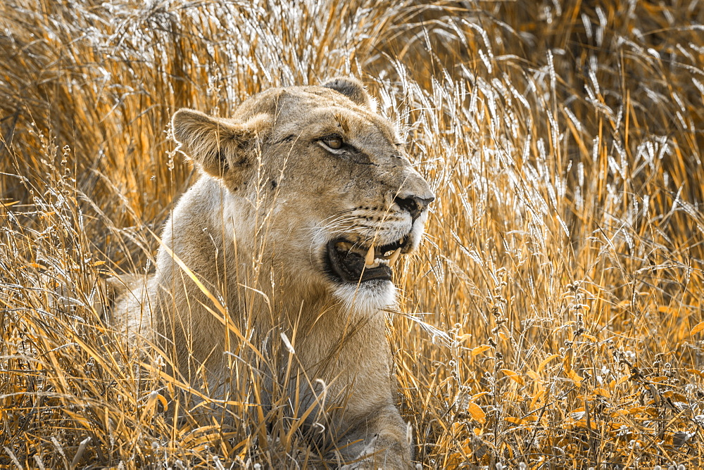 Portrait of African lionness (Panthera leo) in Kruger National park, South Africa
