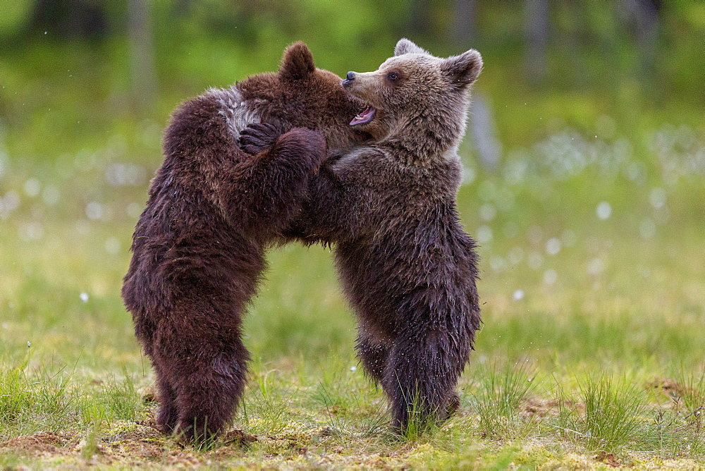 Bear cubs (Ursus arctos) playing, in a bog and coton grass, near a forest of Suomussalmi, Finland