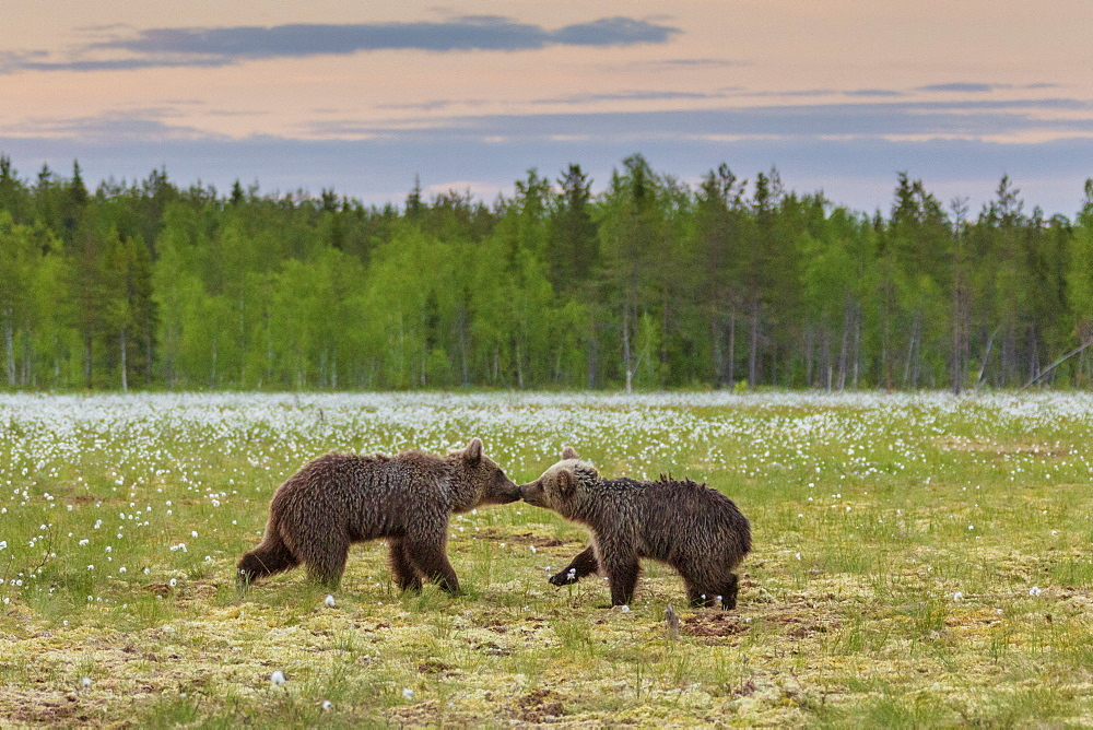 Bear cubs (Ursus arctos) playing, in a peat bog and coton grass, near a forest in Suomussalmi, Finland