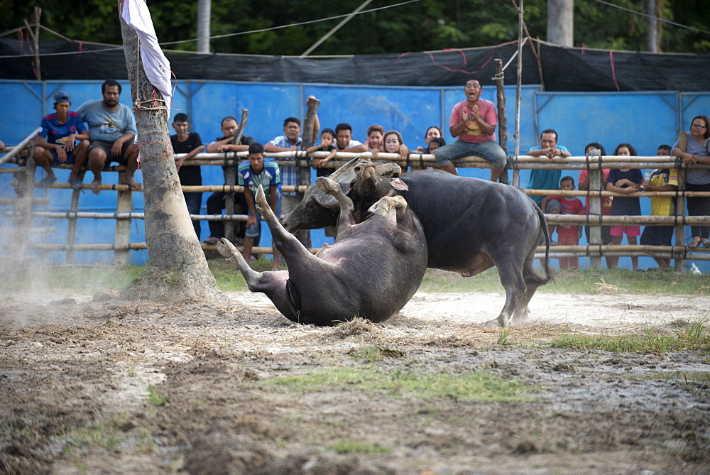 Fighting Buffalo (Bubalus bubalis),Thailand