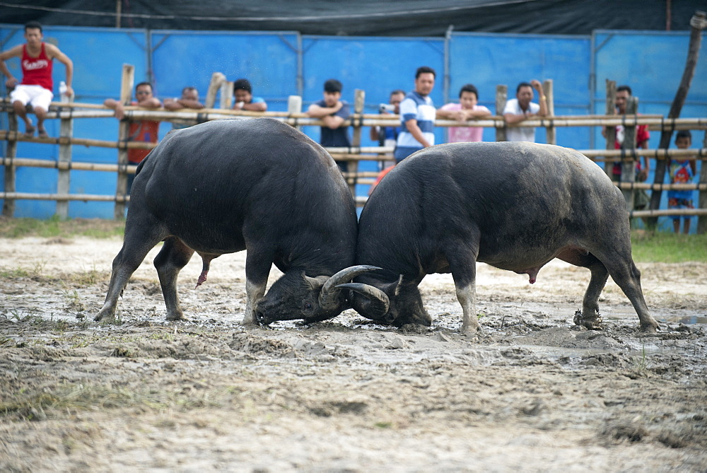Fighting Buffalo (Bubalus bubalis),Thailand