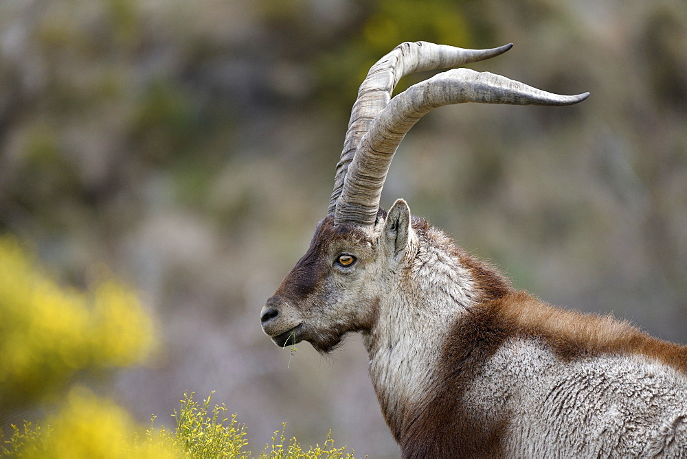 Spanish ibex (Capra pyrenaica victoriae) portrait of a large adult male, Sierra de Gredos, Spain