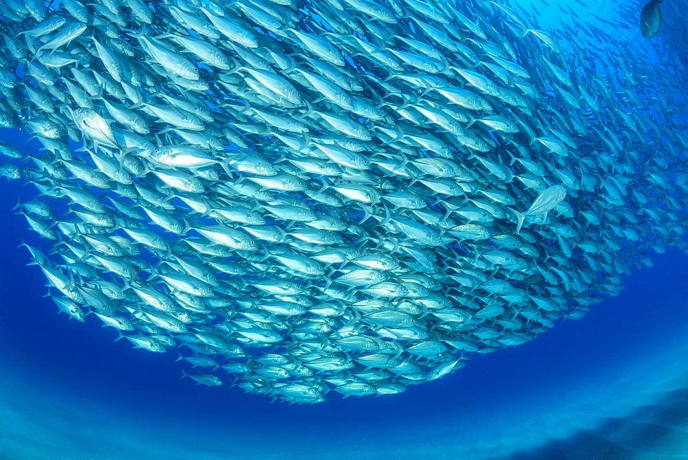 Shoal of Big-eye jacks (Caranx sexfasciatus), Cabo Pulmo Marine National Park, Baja California Sur, Mexico
